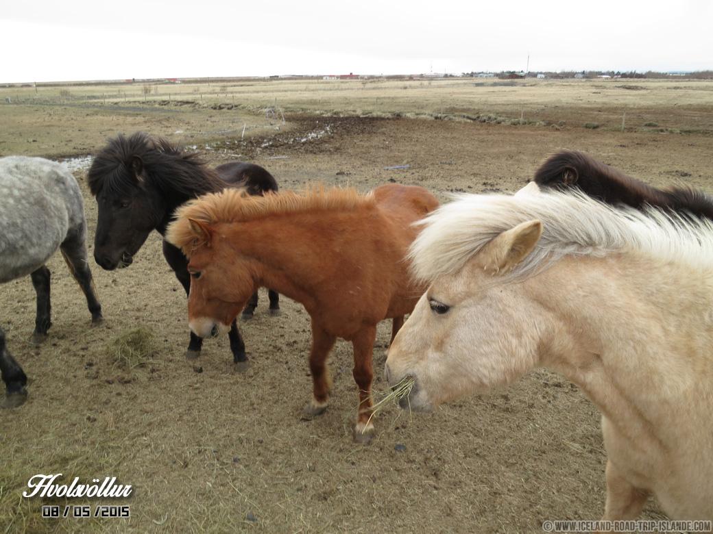 Les chevaux islandais rencontrés à Hvolsvollur