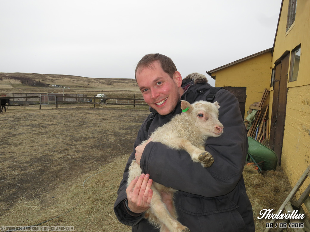 Un agneau rencontré à Hvolsvollur