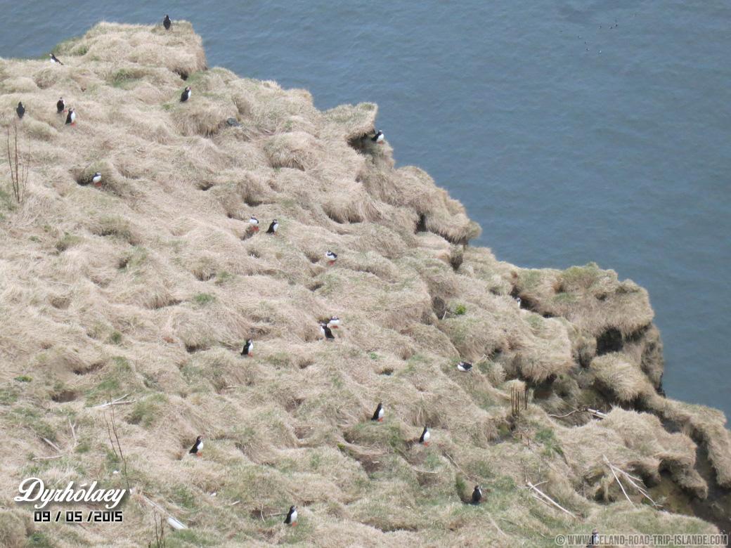 Des dizaines de Puffins nichent à Dyrholaey vers 21H