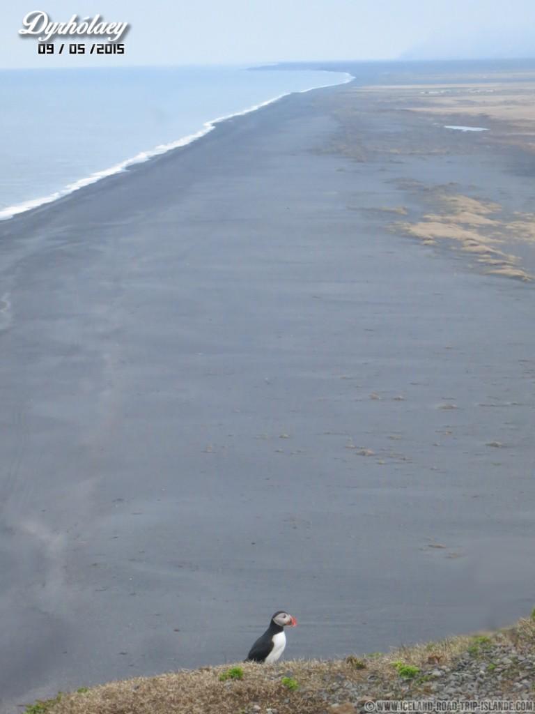 Ce macareux sait prendre la pose devant la plage de Dyrholaey