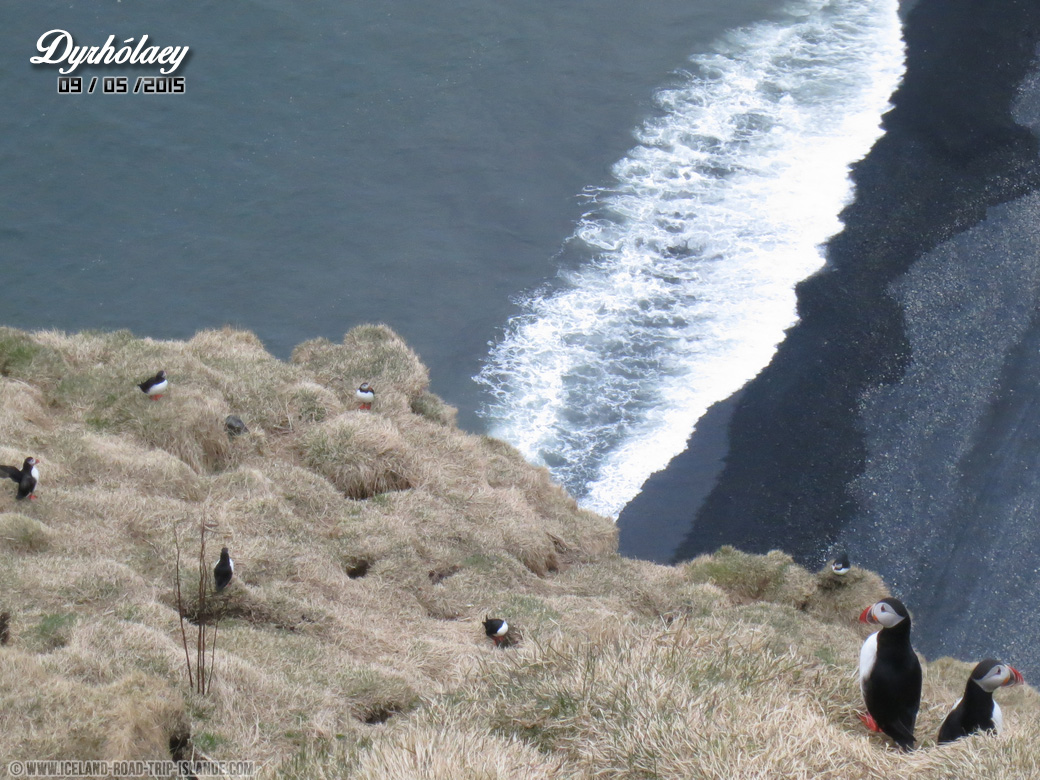 Les Puffins s'envolent régulièrement au dessus de la plage de Dyrholaey