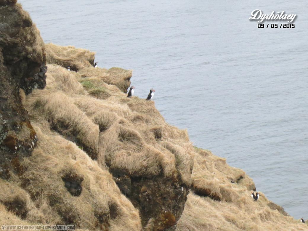 Les Macareux moines sur les falaises de Dyrholaey
