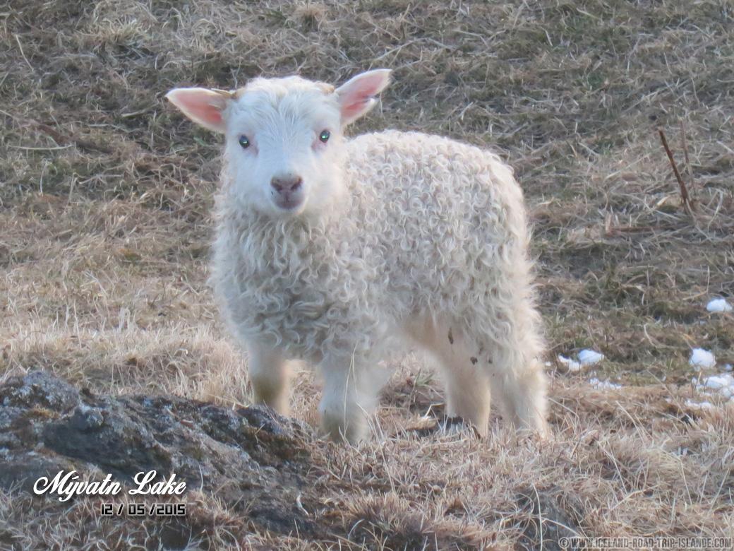 Un agneau curieux près du Lac Mývatn