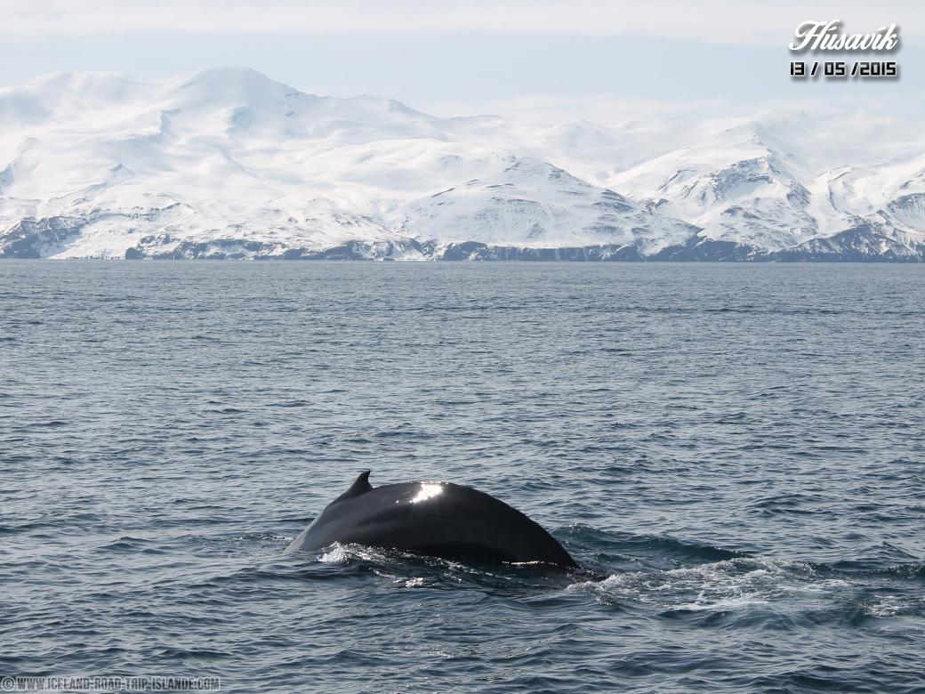 La baleine à bosse de Húsavík