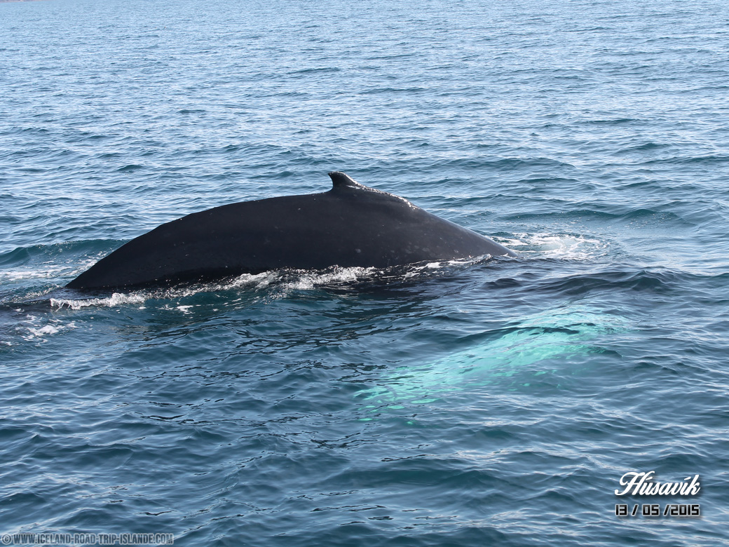 Le dos et la nageoire blanche d'une baleine à bosse