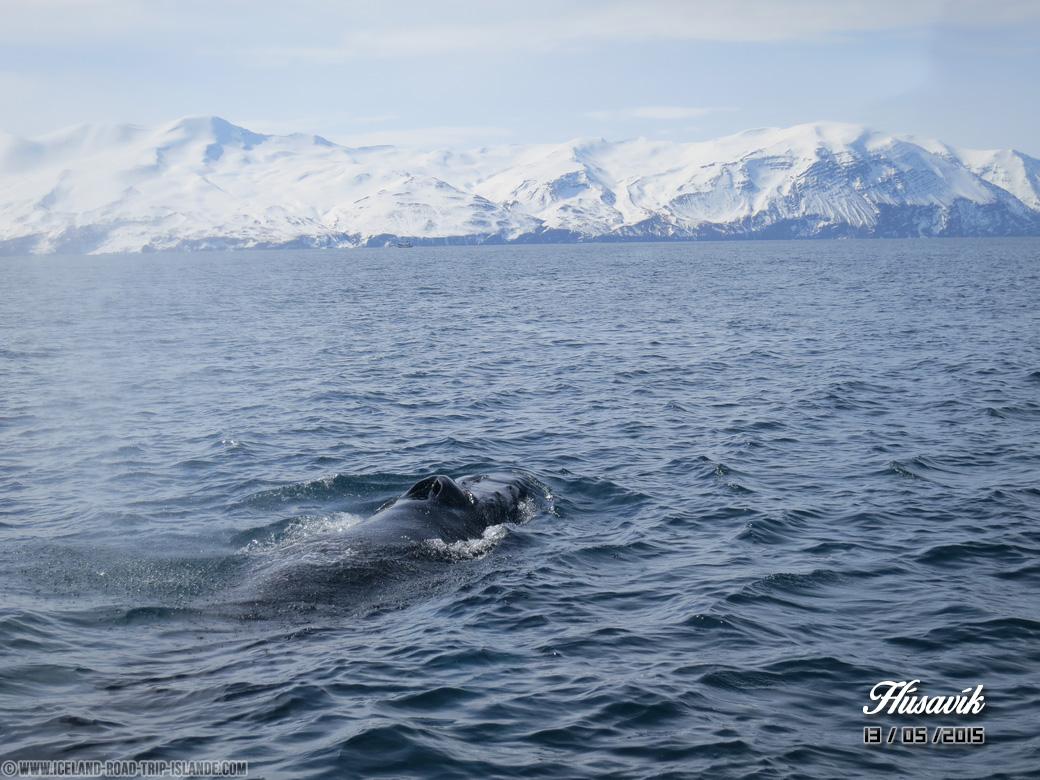 Voici le nez de la baleine par lequel elle respire et rejette son geyser !