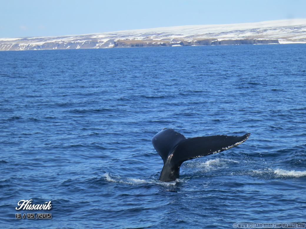 La queue d'une baleine à bosse, signe que l'animal plonge quelques minutes