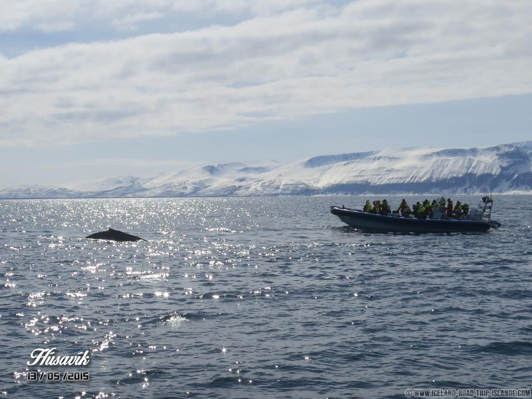 Une embarcation plus légère permettait d'approcher des baleines à bosse