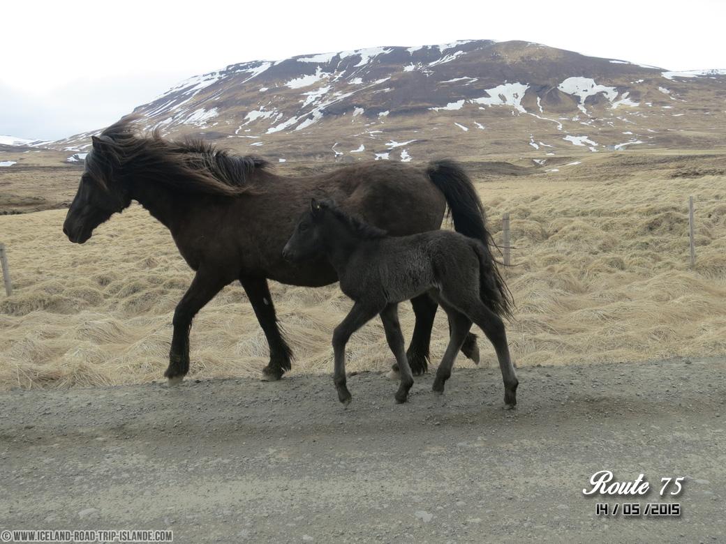Des chevaux rencontrés sur la route 75 vers Glaumbær