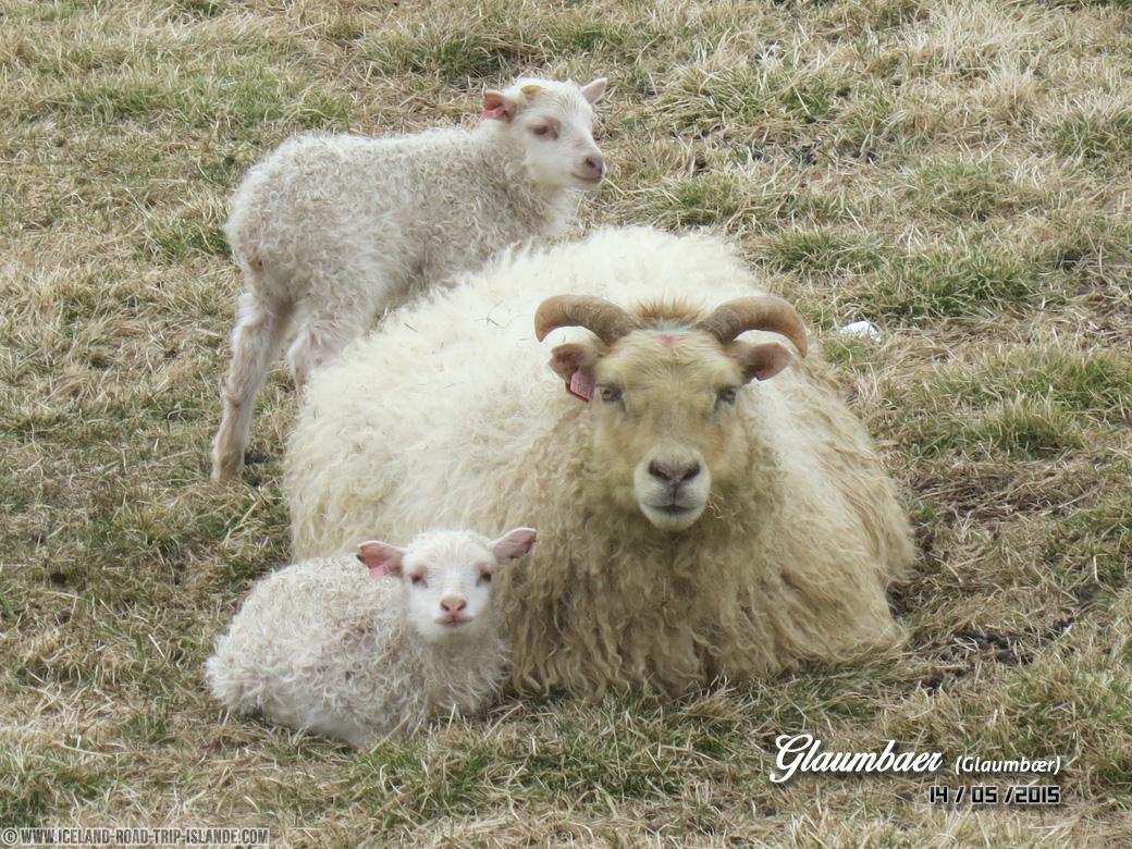 Des moutons et agneaux près de Glaumbær