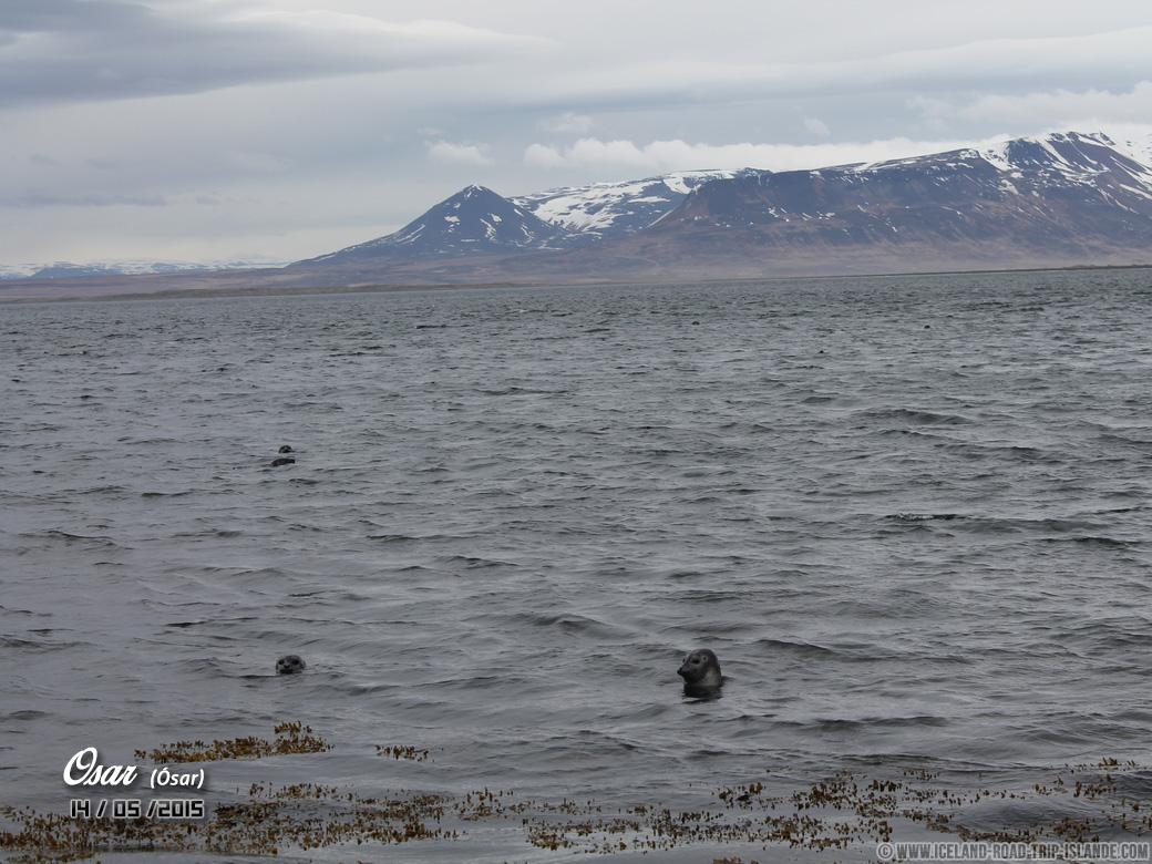 Les petites têtes des phoques d'Ósar qui sortent de l'eau