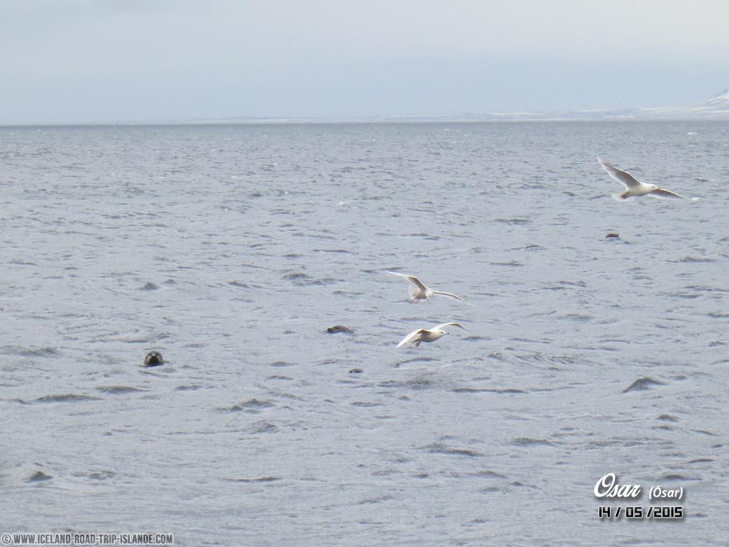 Les phoques et mouettes de la plage d'Ósar