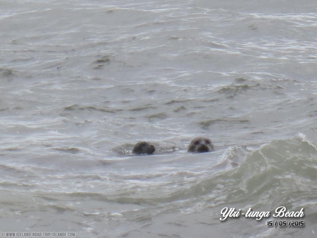 Une famille de phoques à Ytri-tunga
